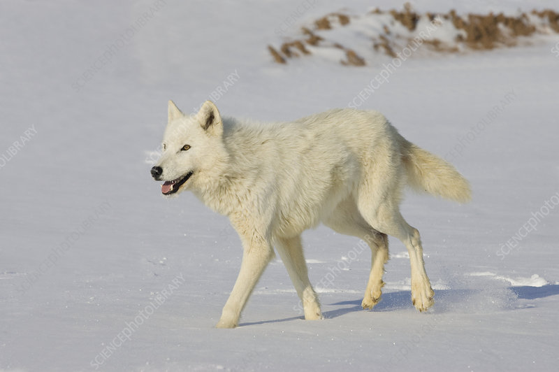 Gray Wolf (Canis lupus) in snow