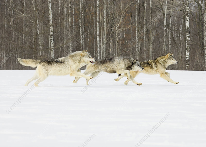 Gray Wolves (Canis lupus) running