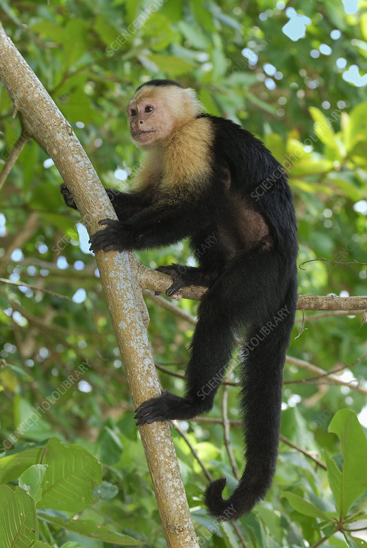White-throated Capuchin climbing
