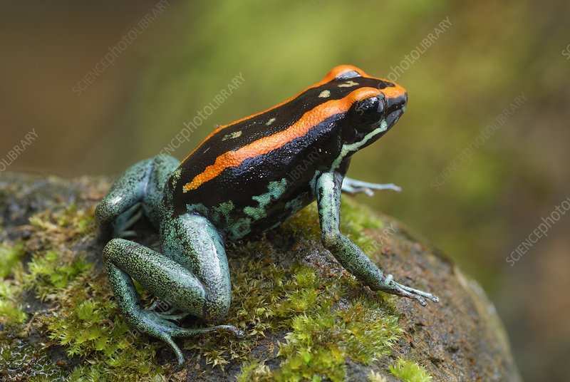 Orange and Black Poison-dart Frog