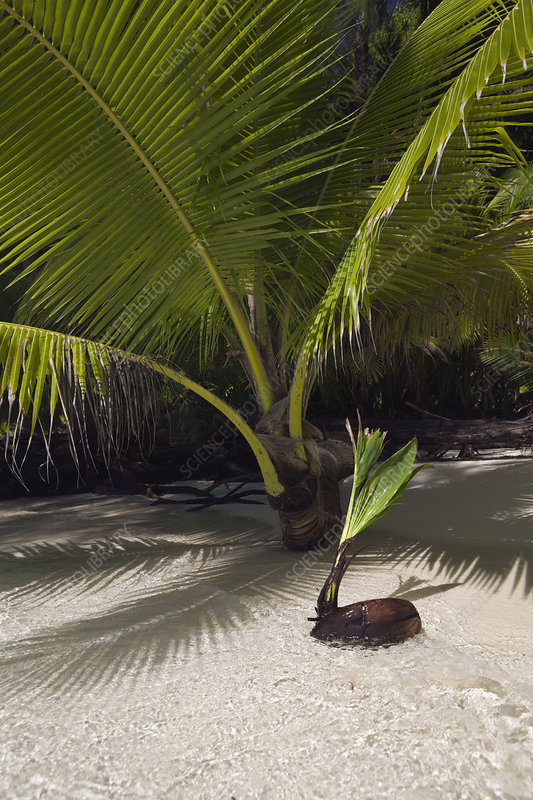 Germinating Coconuts on a beach