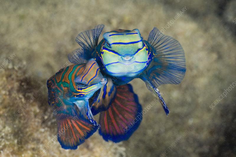 Mating Mandarinfish, Palau