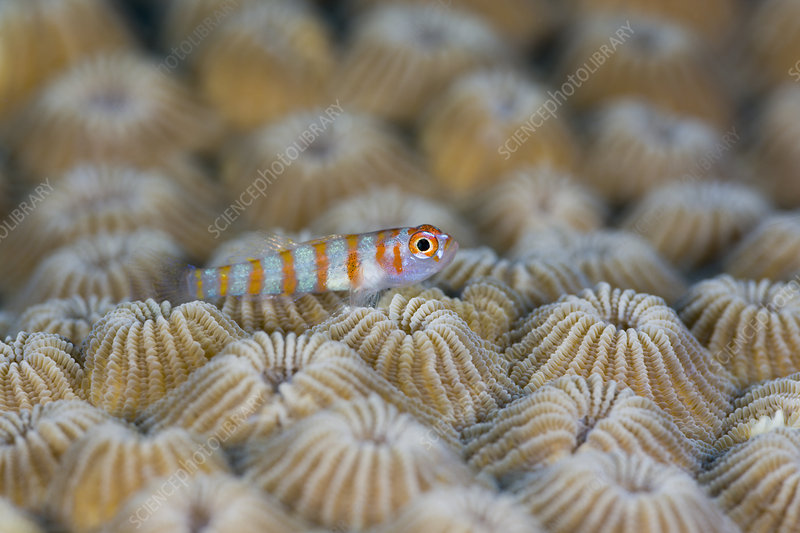 Red-striped Striped Goby (Trimma cana)