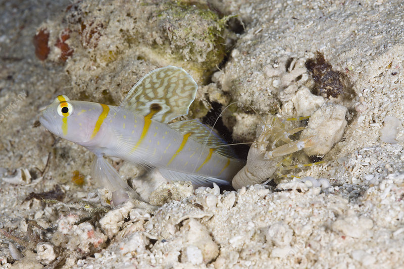 Symbiotic relationation, prawn, shrimp