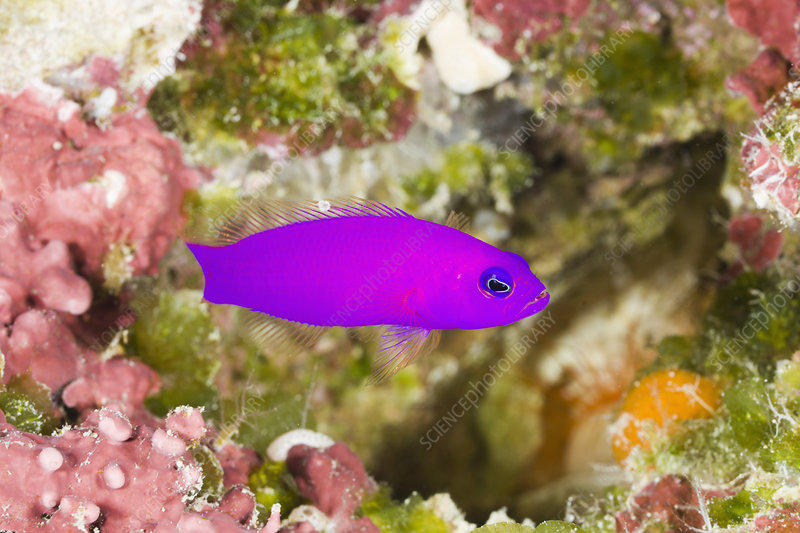 Magenta Dottyback (Pseudochromis porphyre
