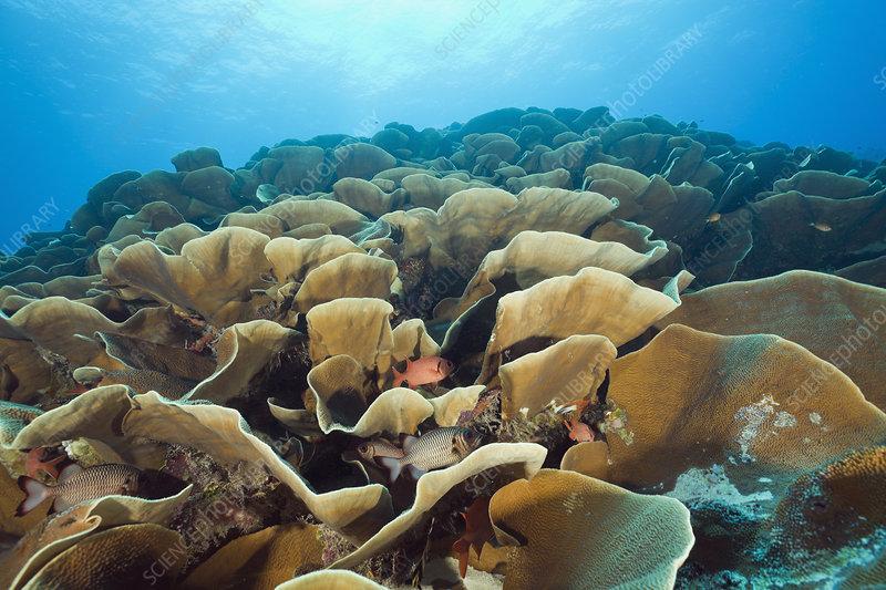 Lettuce Coral (Turbinaria mesenterina)