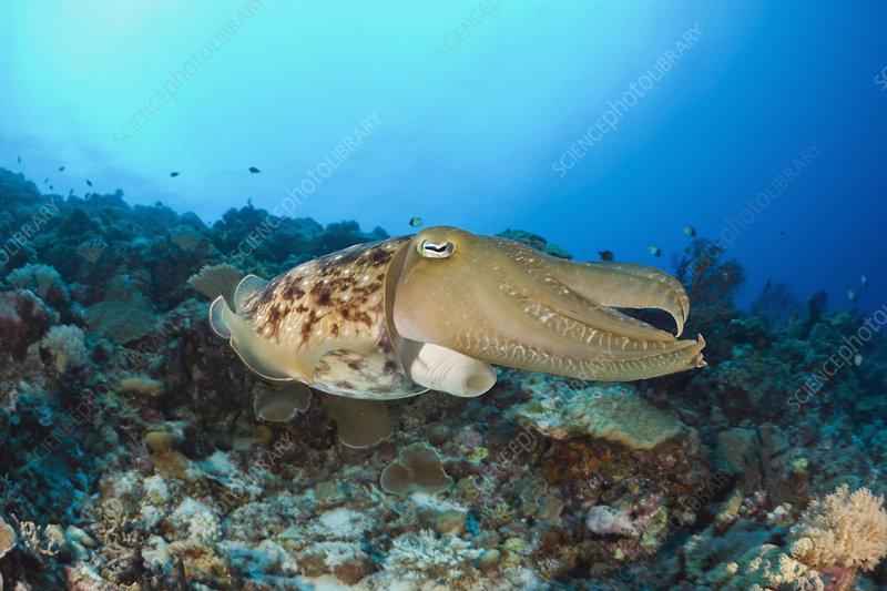 Broadclub Cuttlefish swimming