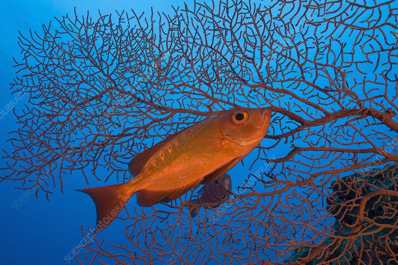 Red Crescent-tail Bigeye swimming