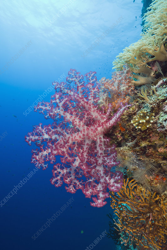 Red Soft Coral (Dendronephthya), Palau