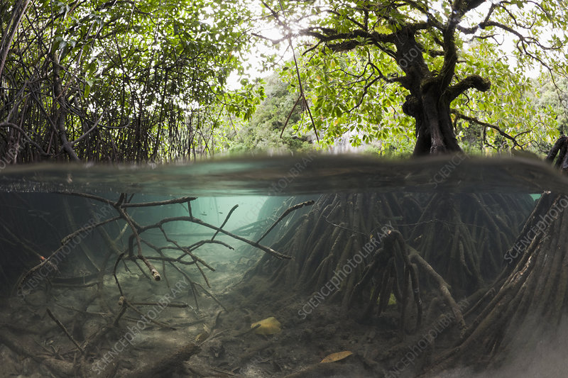 Mangrove and its extensive root system
