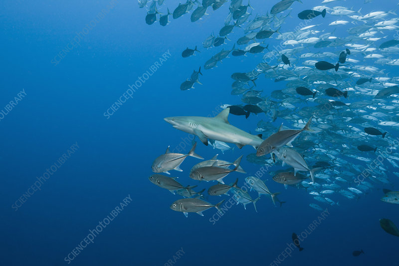 Jackfish school following Reef Shark