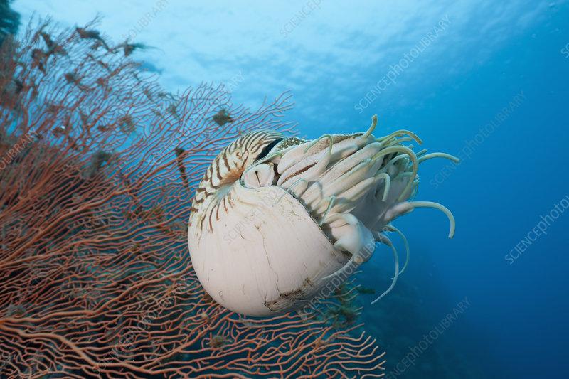Chambered Nautilus (Nautilus belauensis)