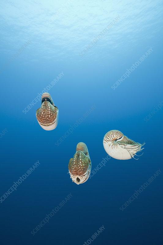 Group of Chambered Nautilus