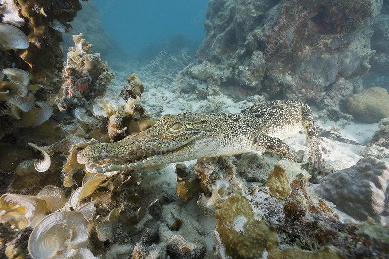 Saltwater Crocodile swimming