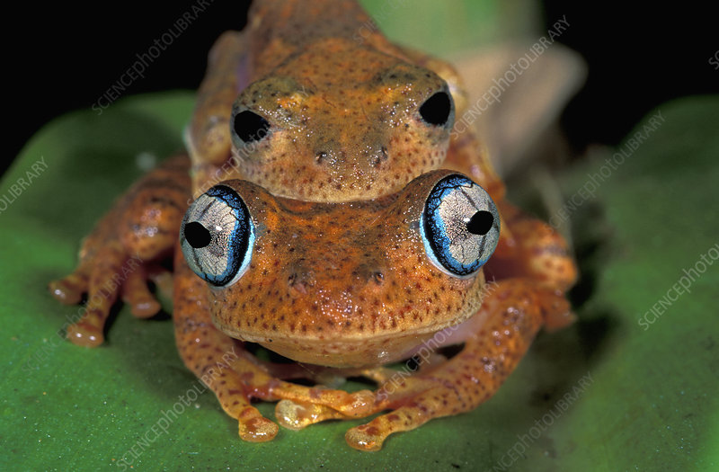 Dumeril's Bright-eyed Frog