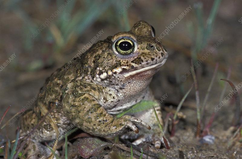 Natterjack Toad head (Bufo calamita)