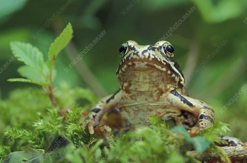 Common Frog head (Rana temporaria)