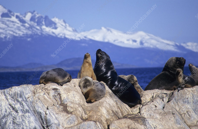 Sea Lions resting on rocks