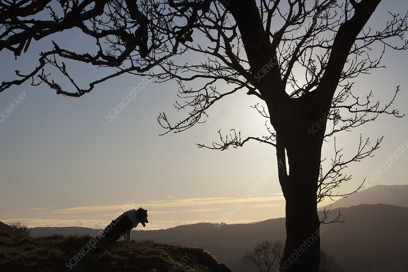 A tree and dog at sunset, England