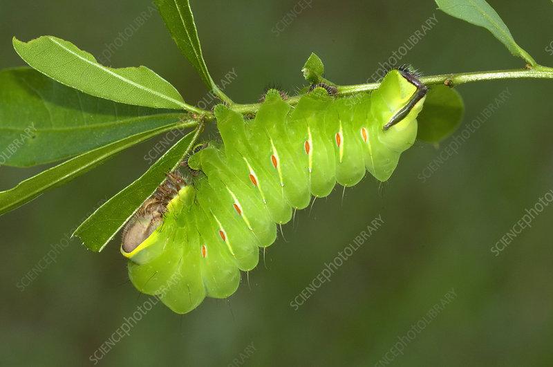 Caterpillar of the Silkworm Moth