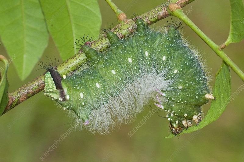Moth Caterpillar (Eacles masoni tyrannus)