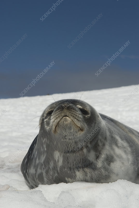 Weddell seal pup