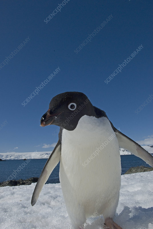 Adelie penguin at research station