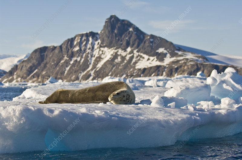 Leopard Seal on ice (Hydrurga leptonyx)