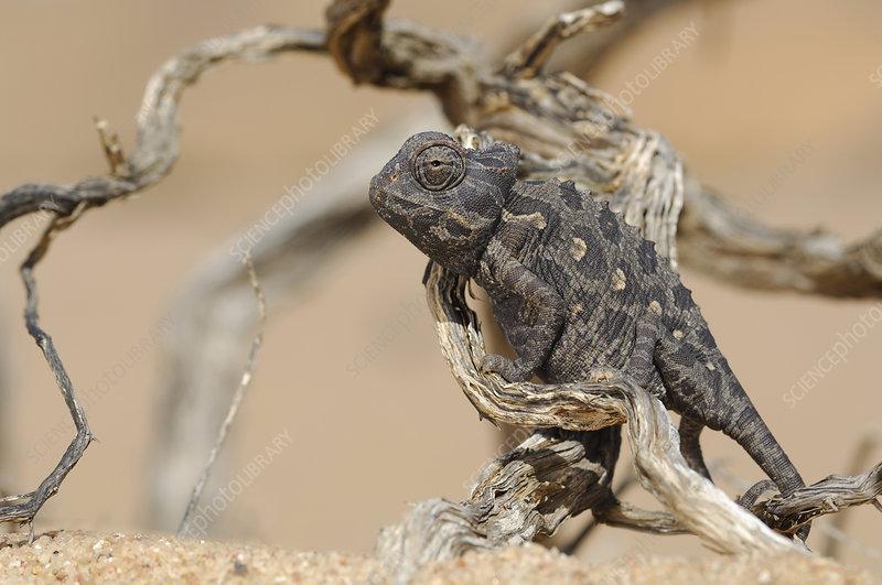 Chameleon, Namib Desert, Namibia
