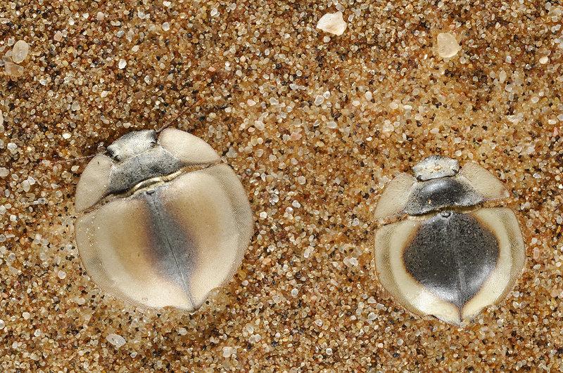 Trenchdiggers (Lepidochora)
