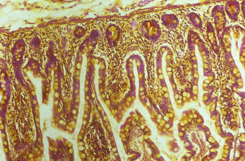 Goblet cells in the small intestine. LM