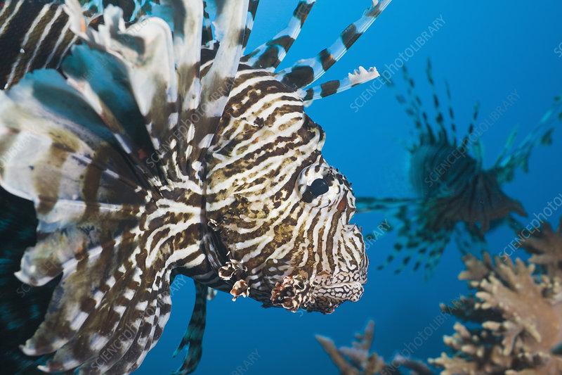 Lionfish (Pterois volitans), Egypt