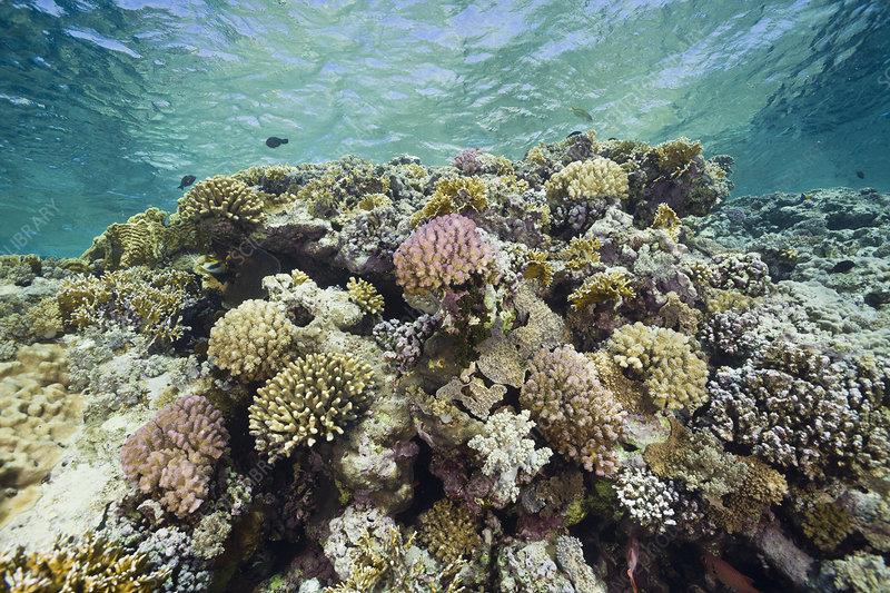 Acropora Hard Coral Reef, Egypt