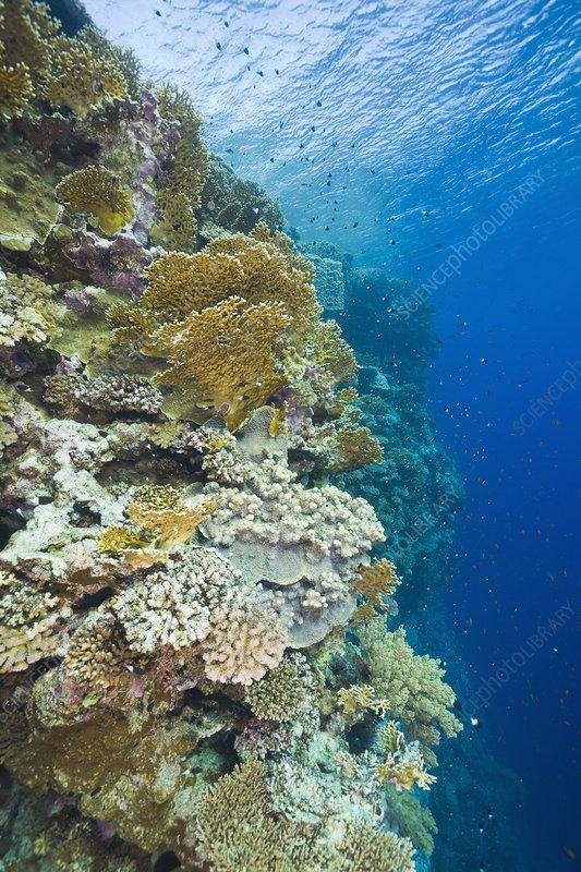 Corals (Millepora Acropora), Egypt