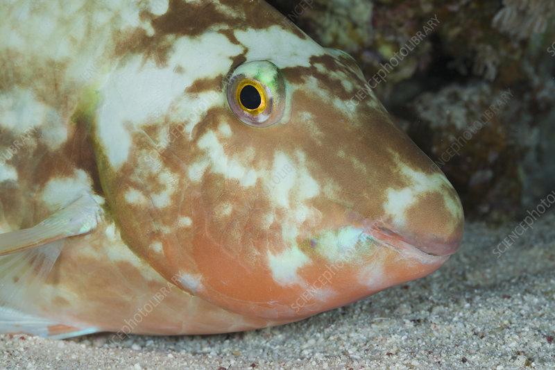 Parrotfish (Scarus) sleeping at night