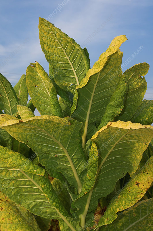 Tobacco plant ready for harvest