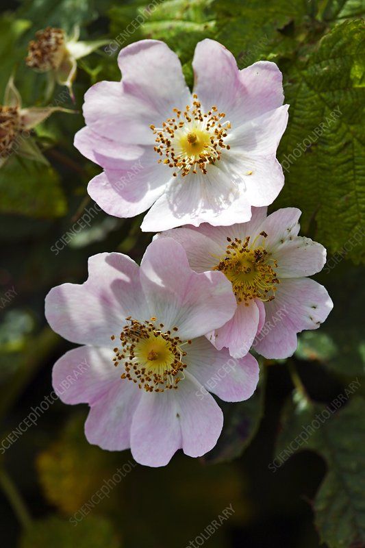 Dog Rose (Rosa canina)