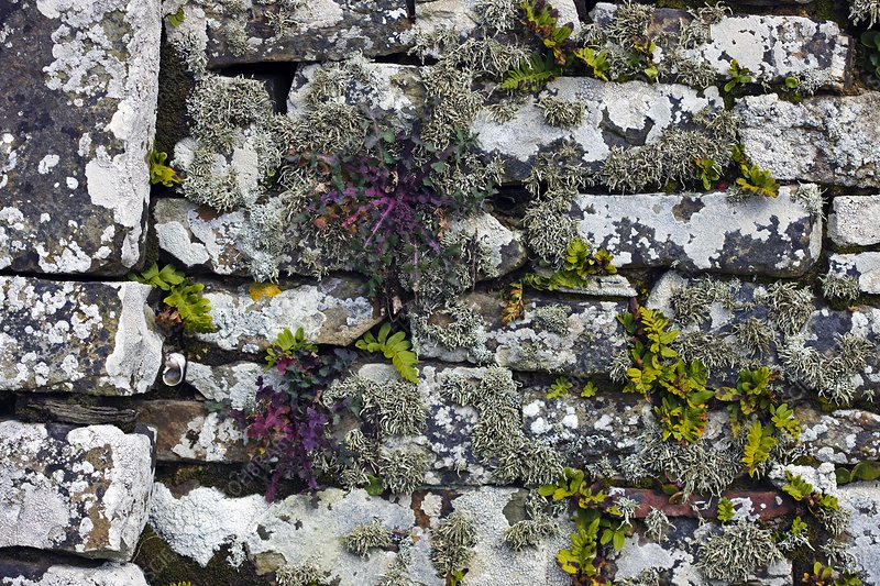 Drystone wall with plants