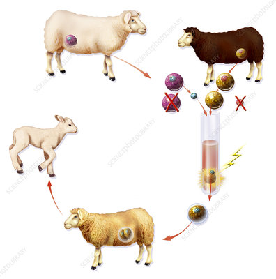 cloning experiment dolly None of which is as simple as the plant cloning method used in the experiment below a clone is an exact genetic copy of an organism  the sheep dolly explain how.