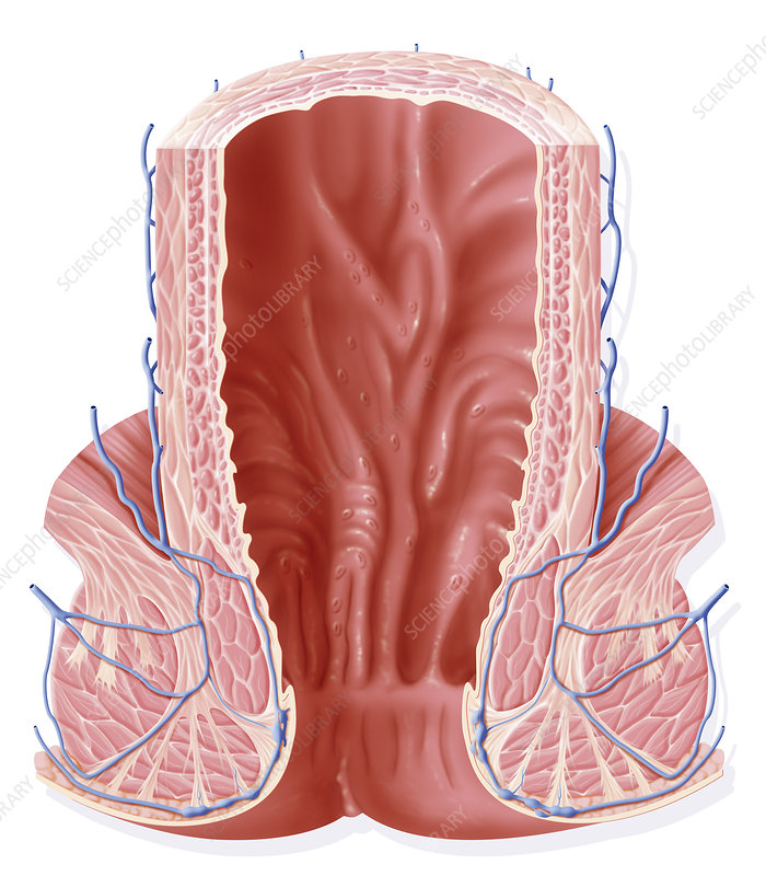 Rectum, drawing - Stock Image C006/3926 - Science Photo ...