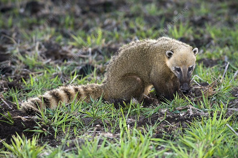 South American coati foraging