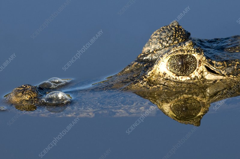 Spectacled caiman in a river