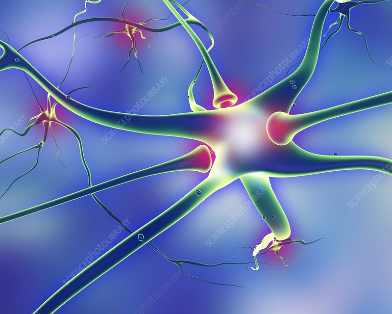 Nerve cells and synapses