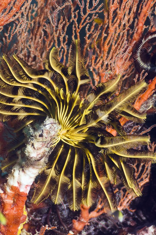 Featherstar on gorgonian coral