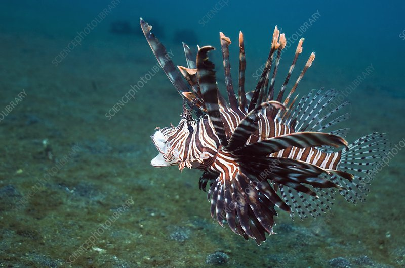 Red lionfish on a reef
