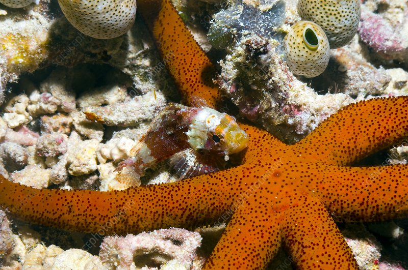 Luzon starfish and scorpionfish
