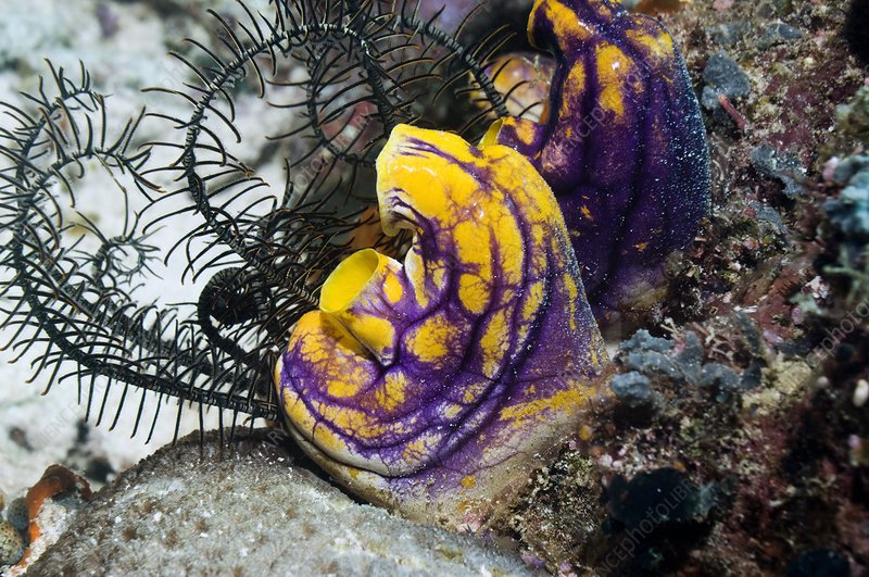 Ink-spot sea squirts and featherstar