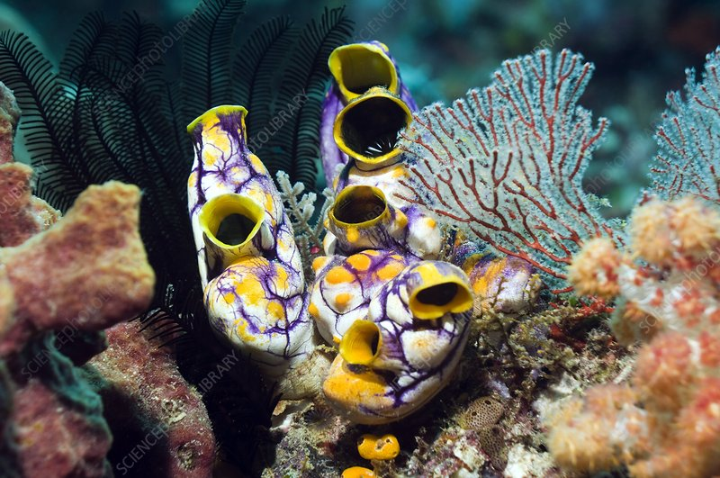 Ink-spot sea squirts