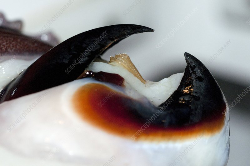 Humboldt squid beak