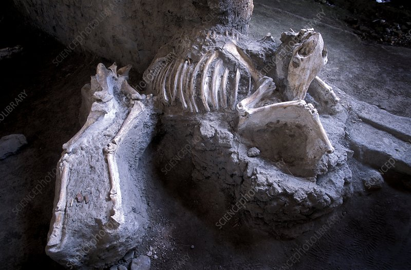 Bones of animals killed at Pompeii